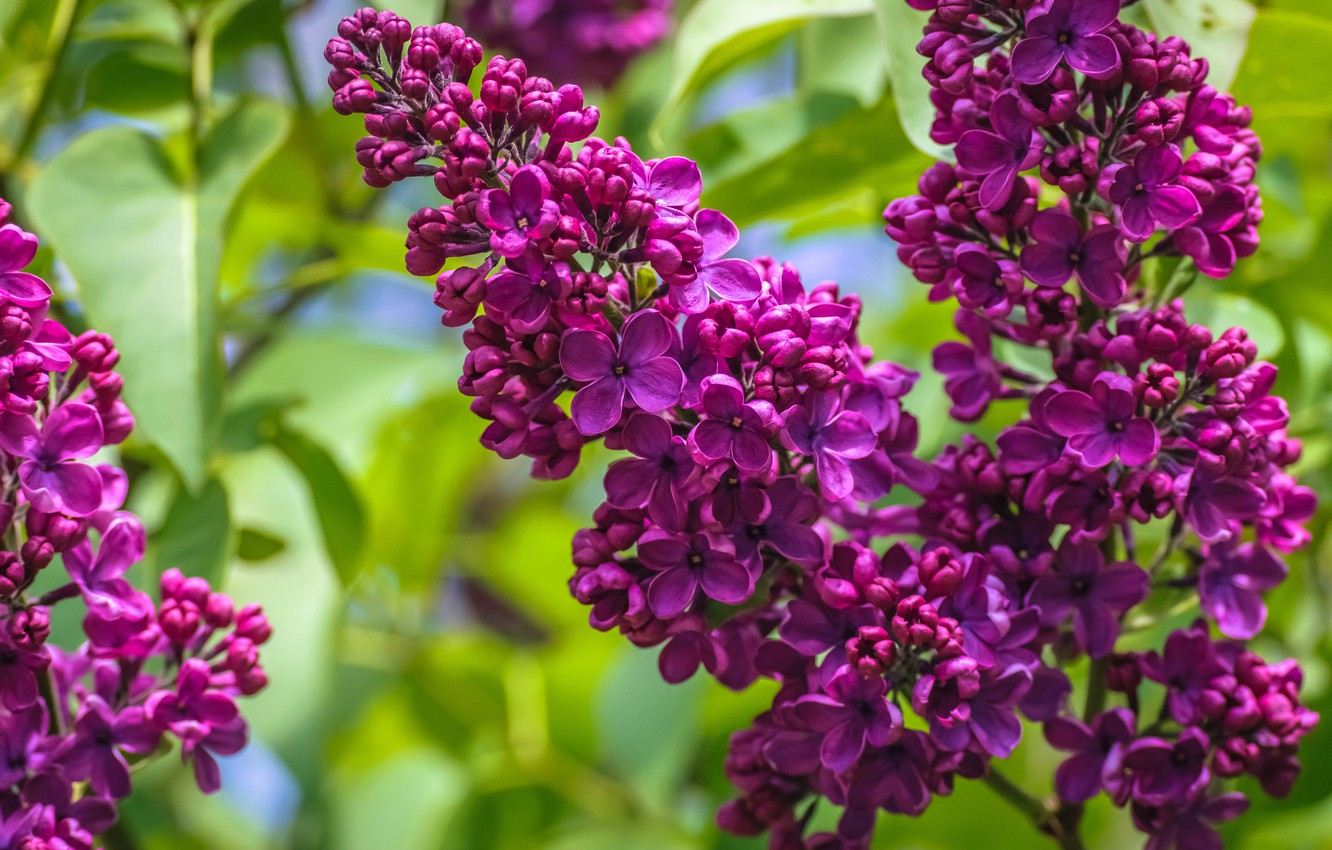 Photo wallpaper macro, flowers, nature, sprig, foliage, spring, petals, flowers, flowering, green background, lilac, lilac, blooming, branch ...