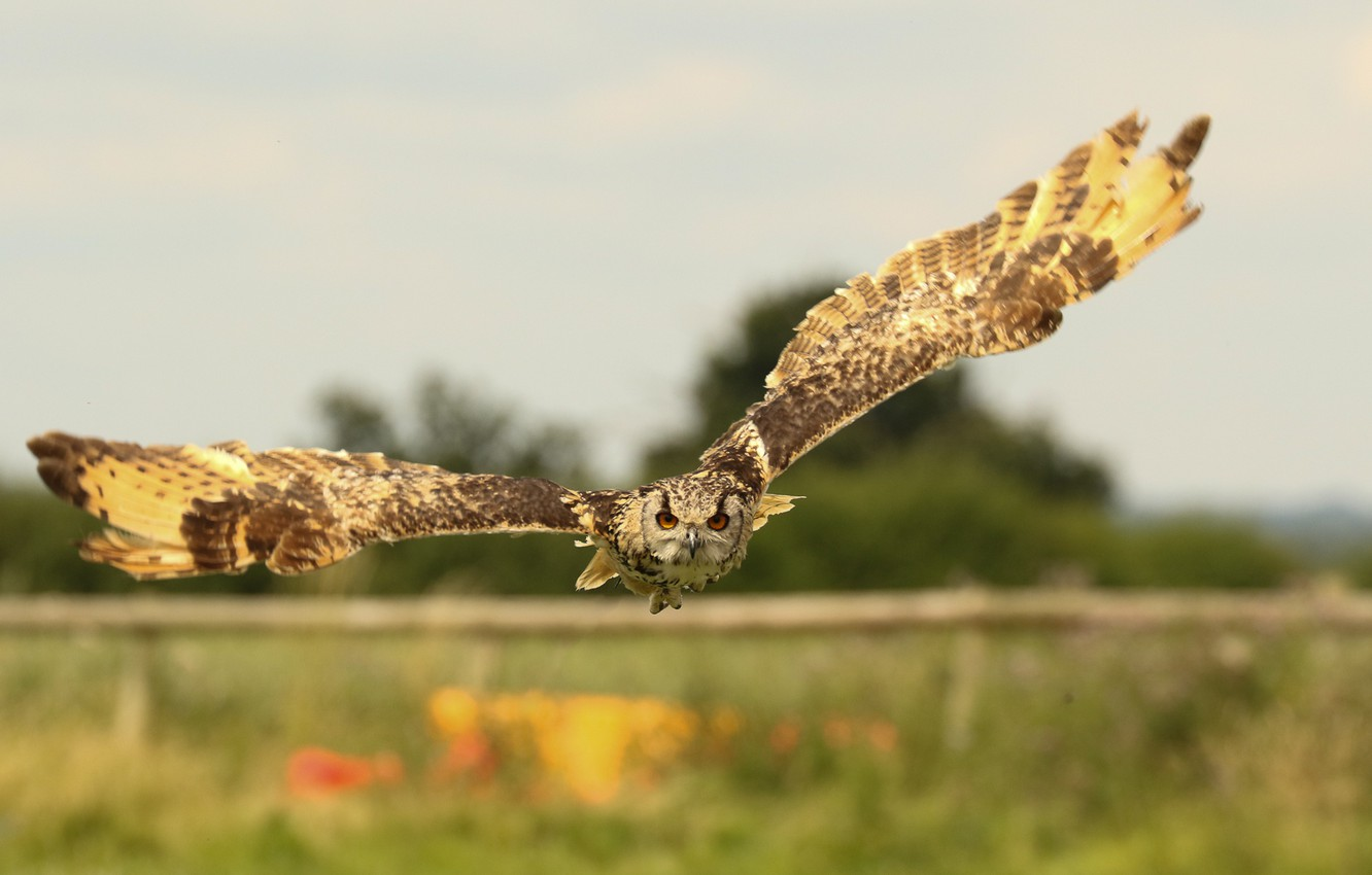 Photo wallpaper flight, owl, bird, wings, Priroda