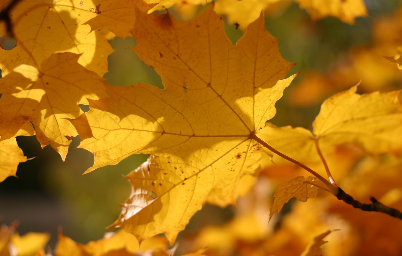 Photo wallpaper autumn, leaves, macro, yellow, color