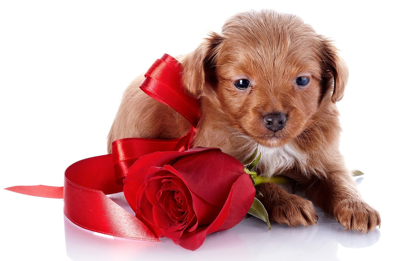 Photo wallpaper rose, small, tape, puppy