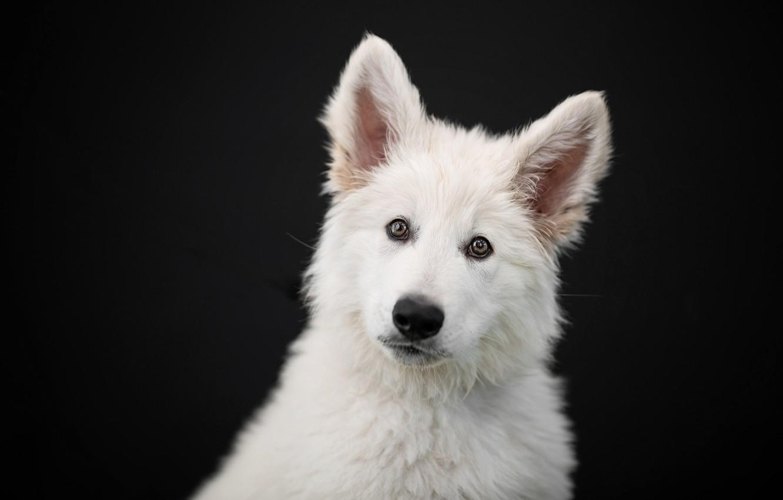 Photo wallpaper look, face, portrait, dog, puppy, ears, black background, The white Swiss shepherd dog