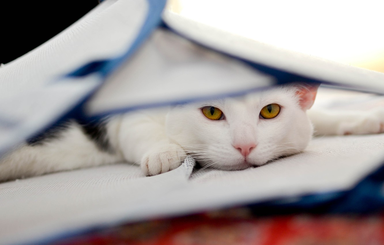 Photo wallpaper cat, cat, look, face, background, portrait, light, fabric, lies, white, yellow eyes, hid