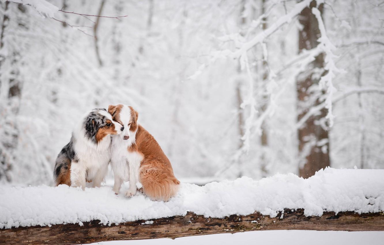 Photo wallpaper winter, forest, snow, love, a couple, two dogs, Australian shepherd, Aussie