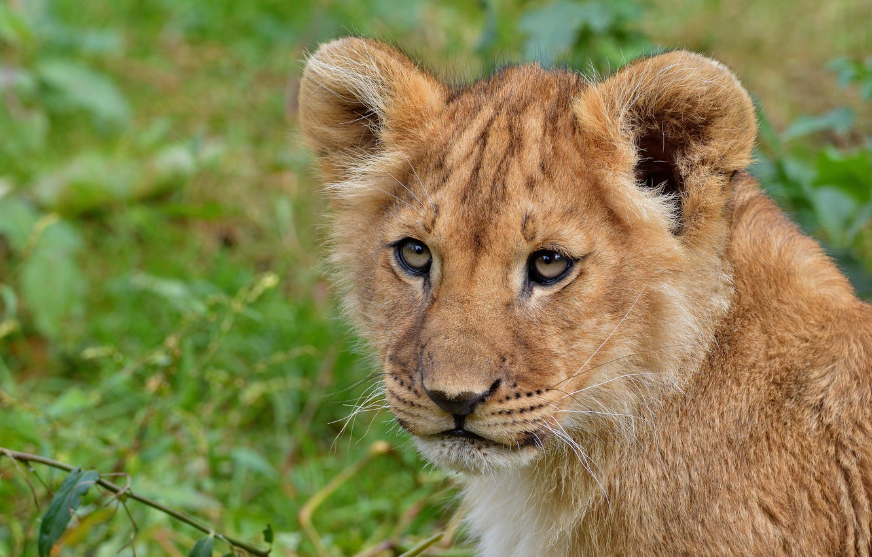 Photo wallpaper look, face, cats, nature, green, background, portrait, Leo, wild cats, lion, lion