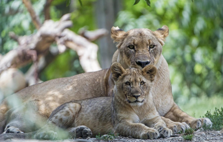 Photo wallpaper predators, lioness, mom, lion