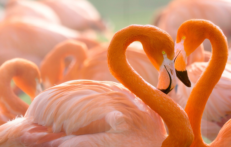Wallpaper Love Birds Background Heart Portrait Pair Lovers Flamingo Wildlife Bright Plumage Pink Flamingos Neck Child Of Sunset Love And Flamingos Images For Desktop Section Zhivotnye Download