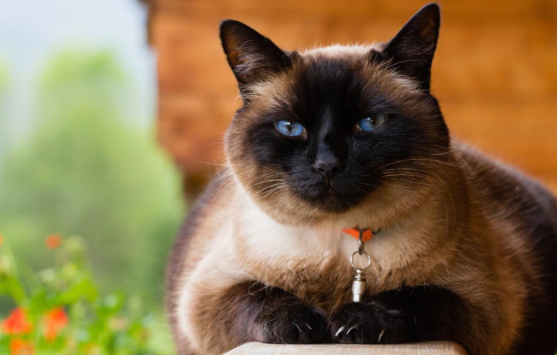 Photo wallpaper cat, cat, face, nature, background, portrait, collar, blue eyes, Siamese, Siamese