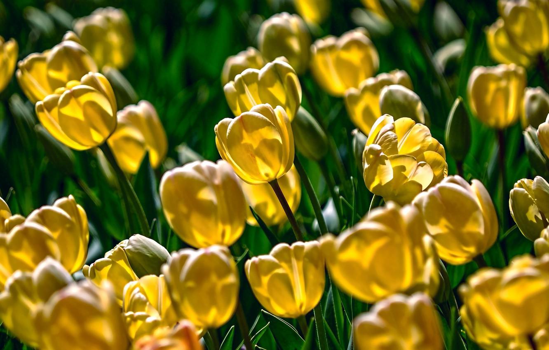 Photo wallpaper yellow, bright, tulips