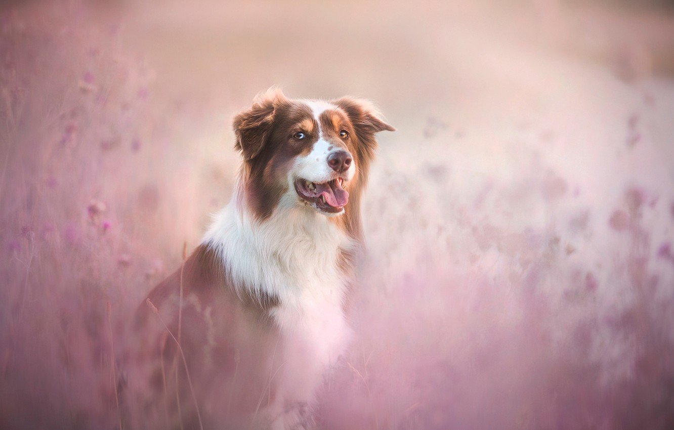 Photo wallpaper red, lavender, dog