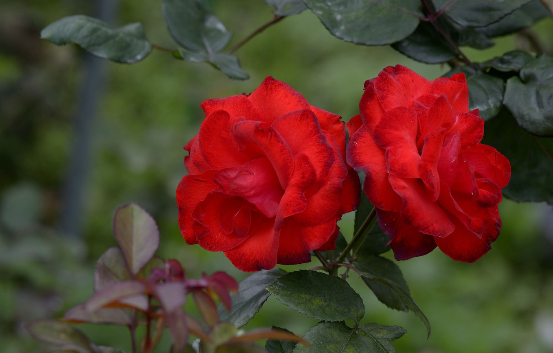 Photo wallpaper roses, garden, red, buds