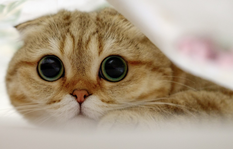 Photo wallpaper cat, look, muzzle, Scottish fold cat