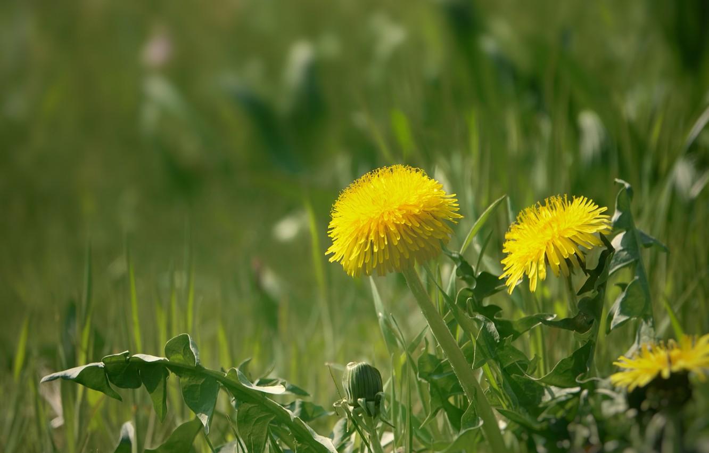 Photo wallpaper grass, spring, dandelions