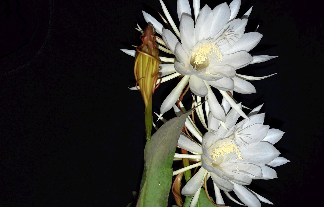 Photo wallpaper petals, Bud, stamens, black background, exotic, picture, white flowers, light and shadow