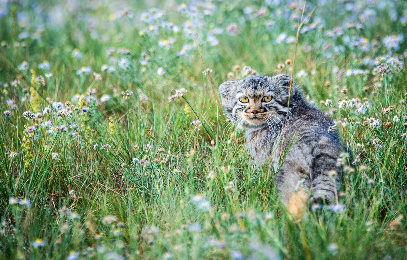 Photo wallpaper flowers, the steppe, small, meadow, kitty, manul