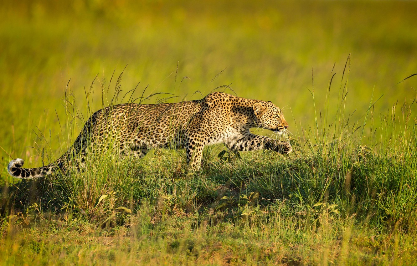 Photo wallpaper predator, leopard, sneaks