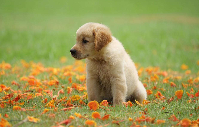 Photo wallpaper grass, flowers, Park, cute, puppy, golden, lawn, puppy, dog, park, Retriever, cute, retriever