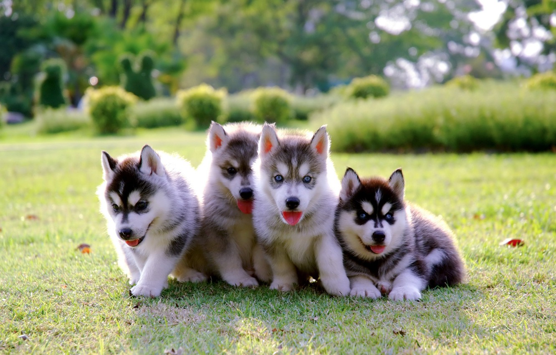 Wallpaper Park Puppies Kids Lawn Puppy Husky Dog Park Cute Husky Images For Desktop Section Sobaki Download
