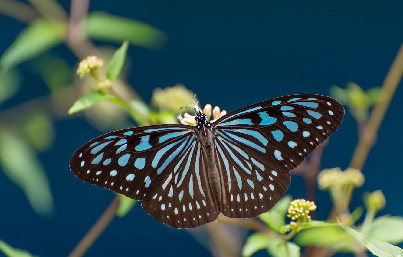 Photo wallpaper macro, butterfly, wings, Some ideopsis