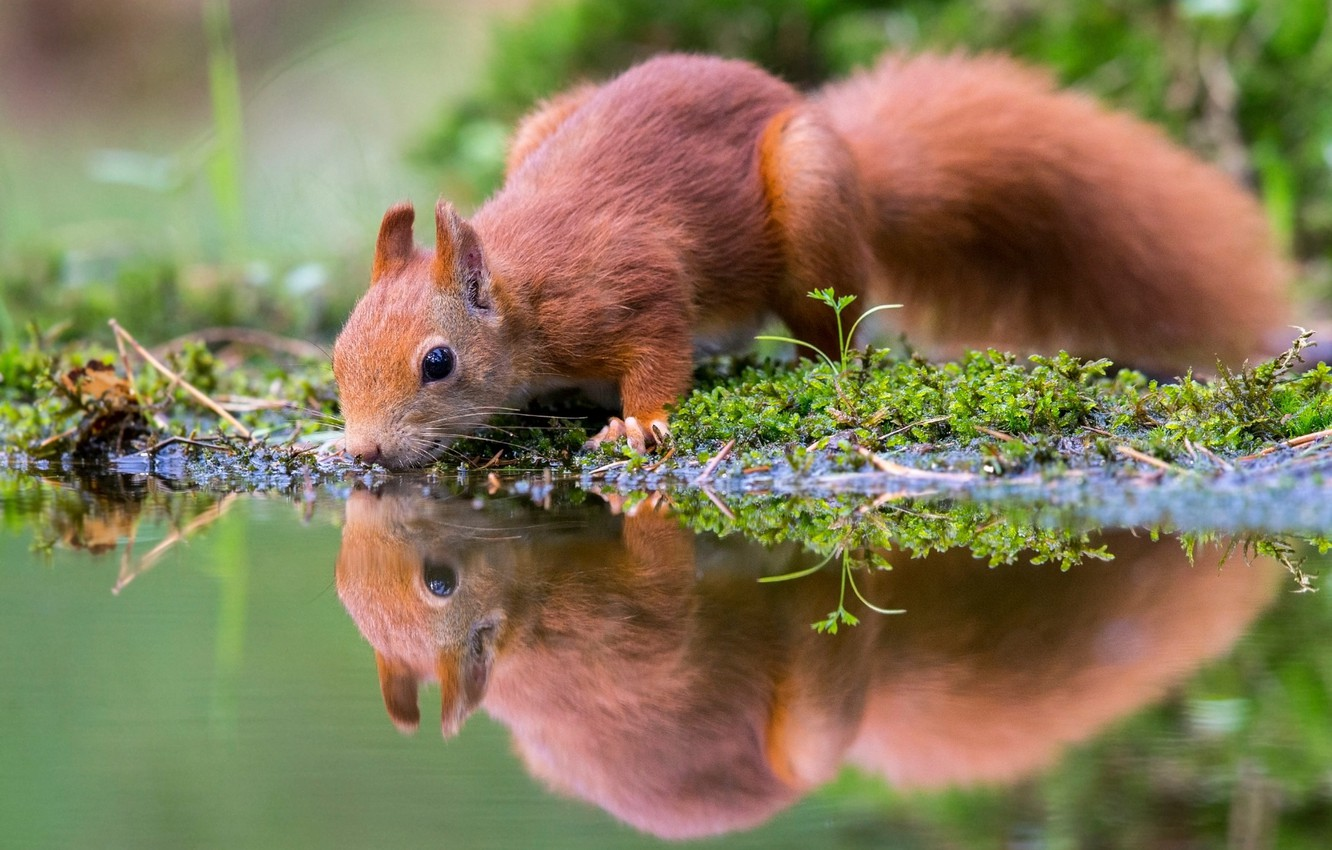 Photo wallpaper water, nature, reflection, animal, moss, protein, drink, pond, animal, rodent