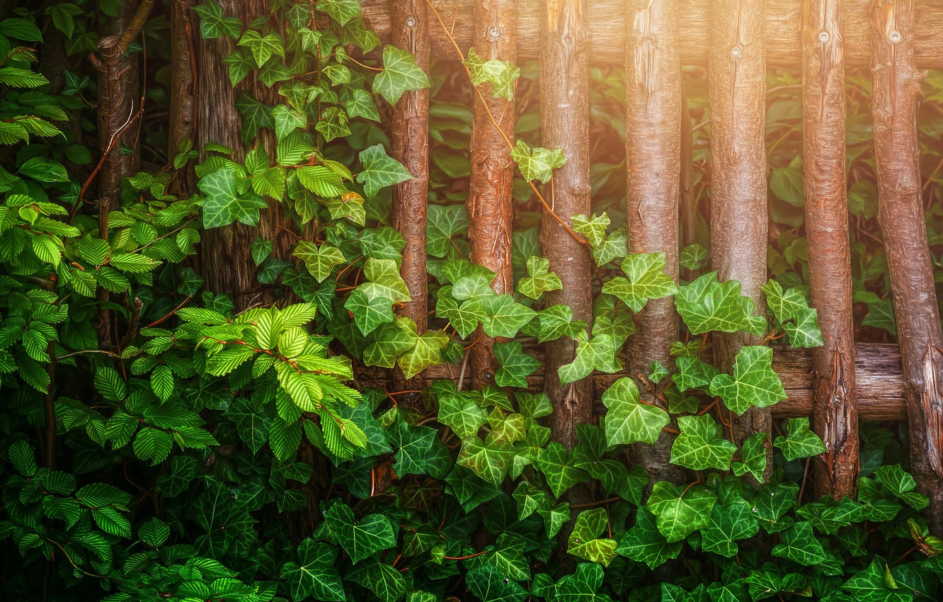 Photo wallpaper leaves, branches, the fence, treatment, Ivy