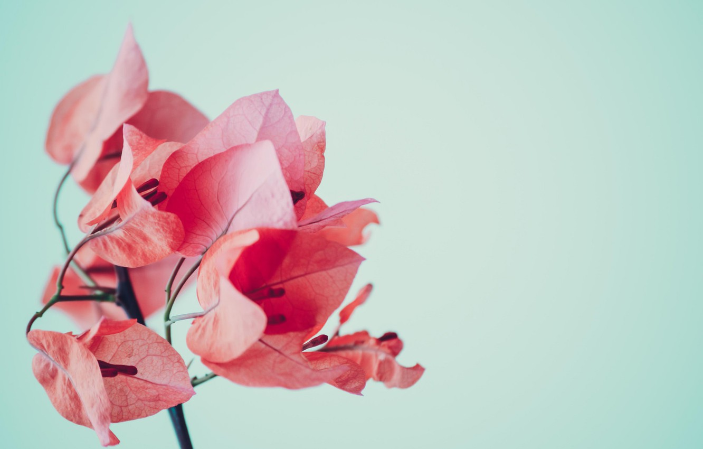 Photo wallpaper flower, leaves, pink, bougainvillea