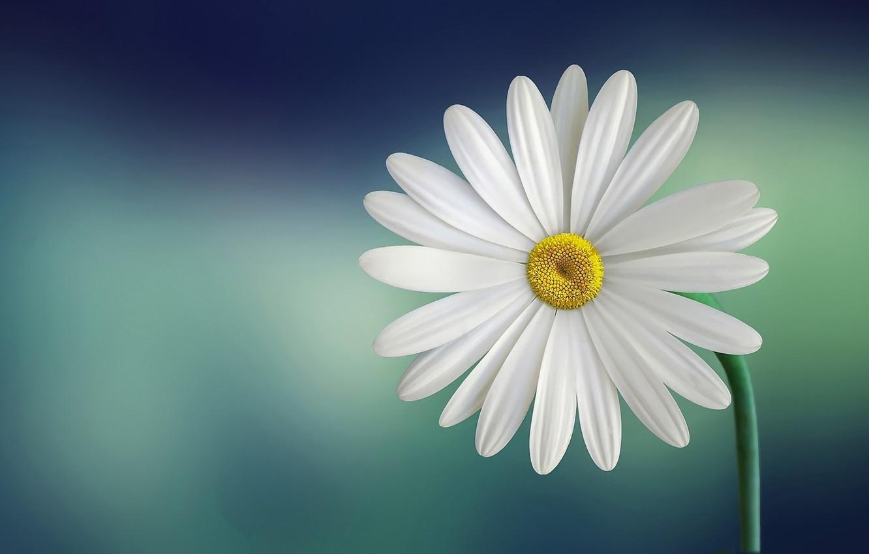 Photo wallpaper macro, plant, petals, Daisy