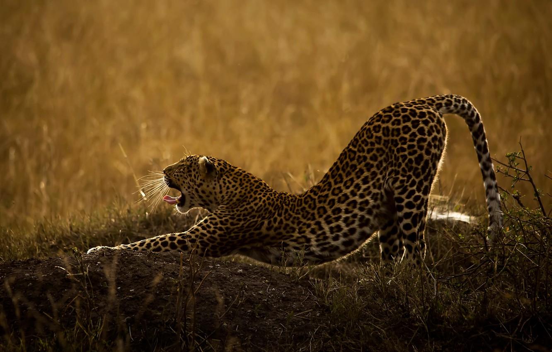 Photo wallpaper language, grass, nature, animal, predator, mouth, leopard, wild cat