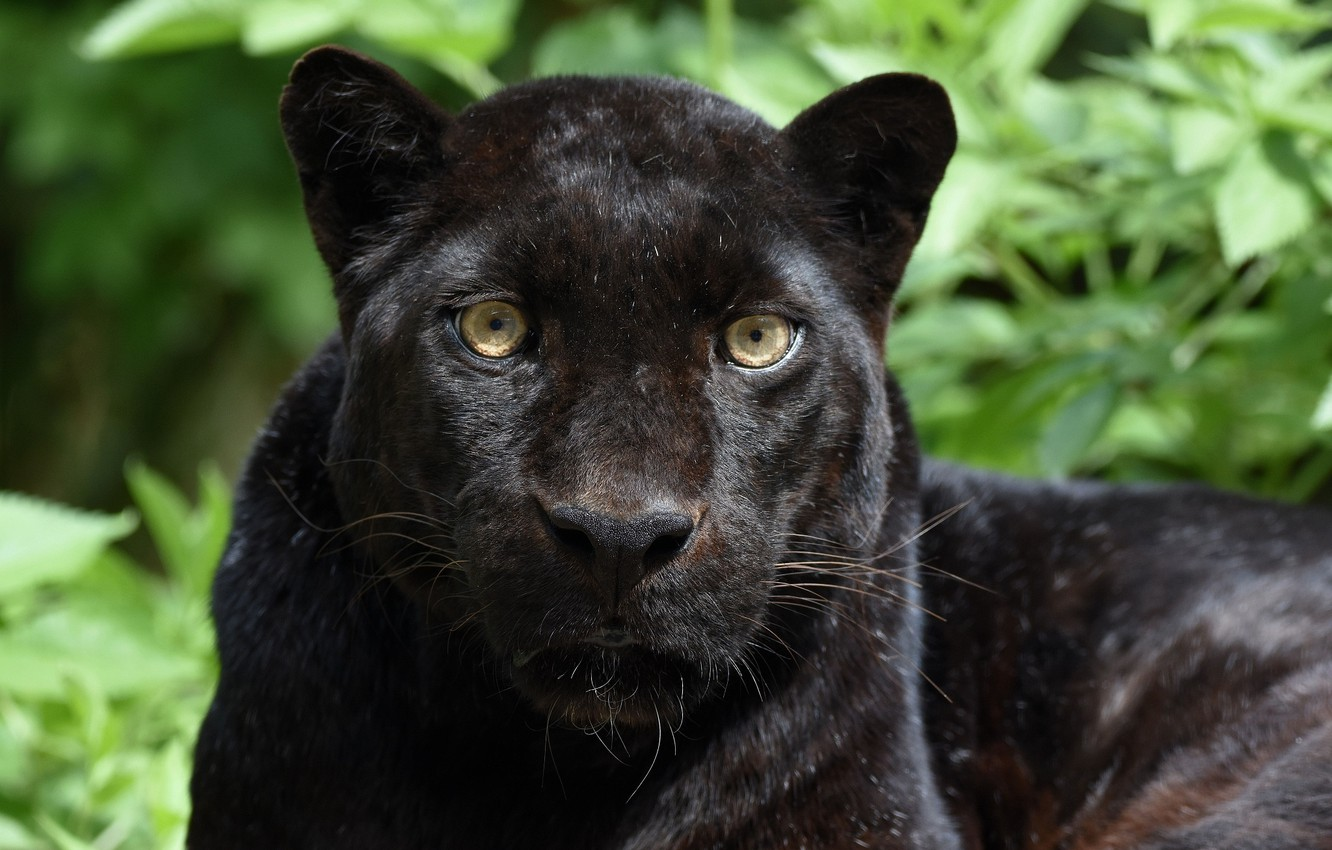 Photo wallpaper face, portrait, predator, Panther, wild cat, black leopard