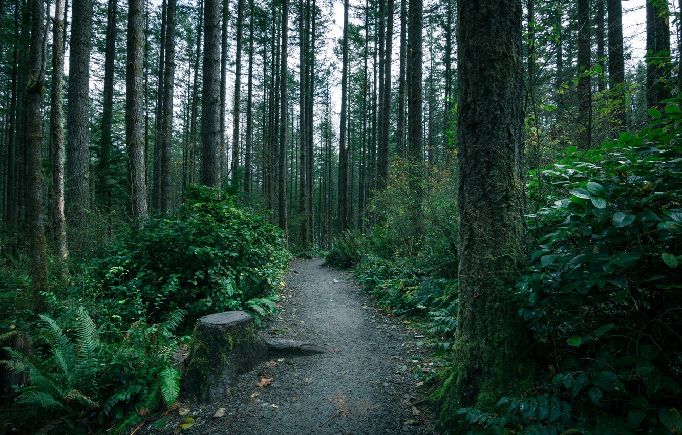 Photo wallpaper forest, trees, moss, trail, thicket, path