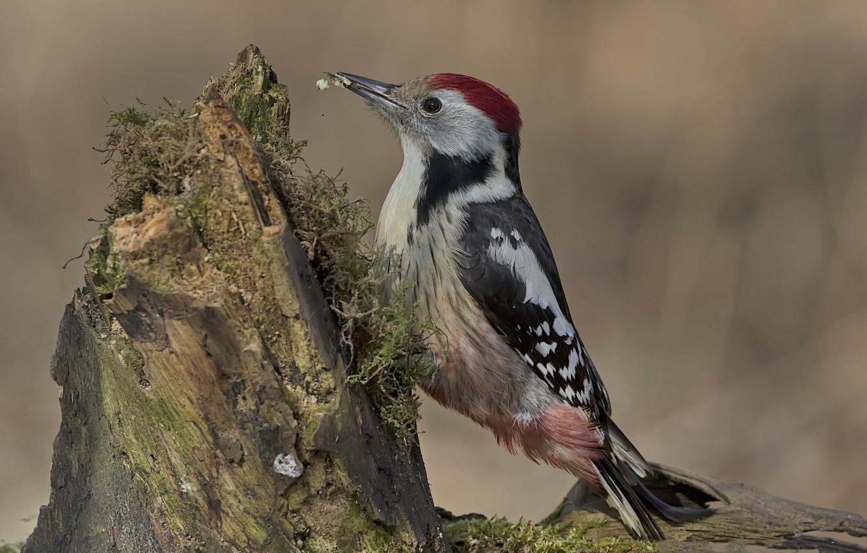 Photo wallpaper bird, stump, woodpecker