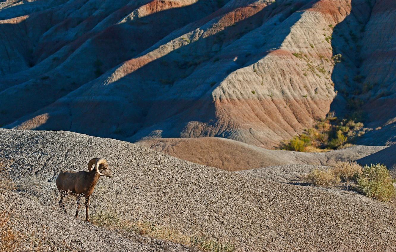 Photo wallpaper mountains, nature, horns, desert bighorn sheep