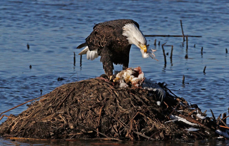 Photo wallpaper bird, predator, hunting, bald eagle