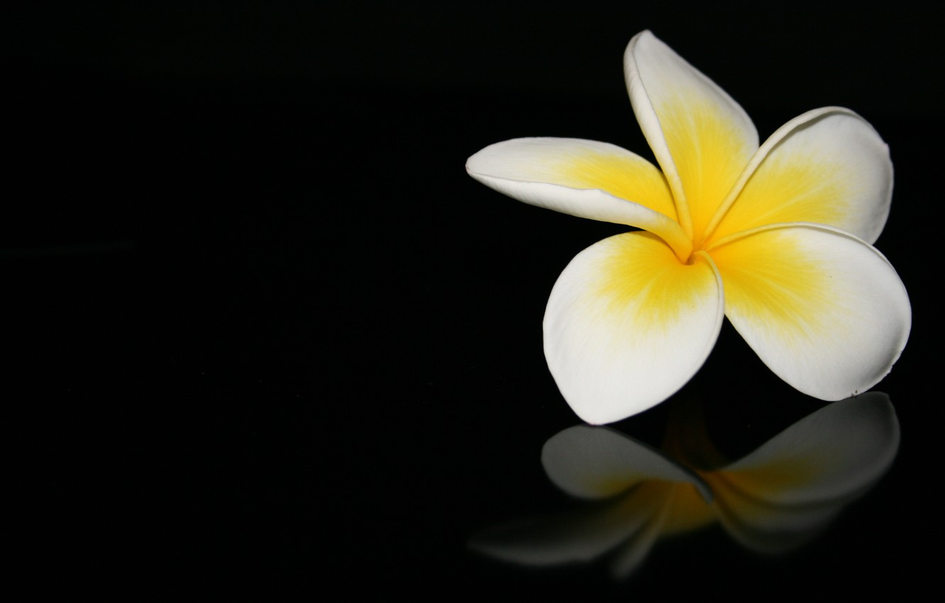 Photo wallpaper flower, macro, reflection, black background, plumeria