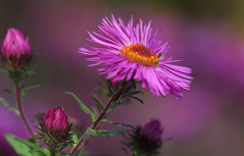 Photo wallpaper flower, macro, petals, Astra, bokeh