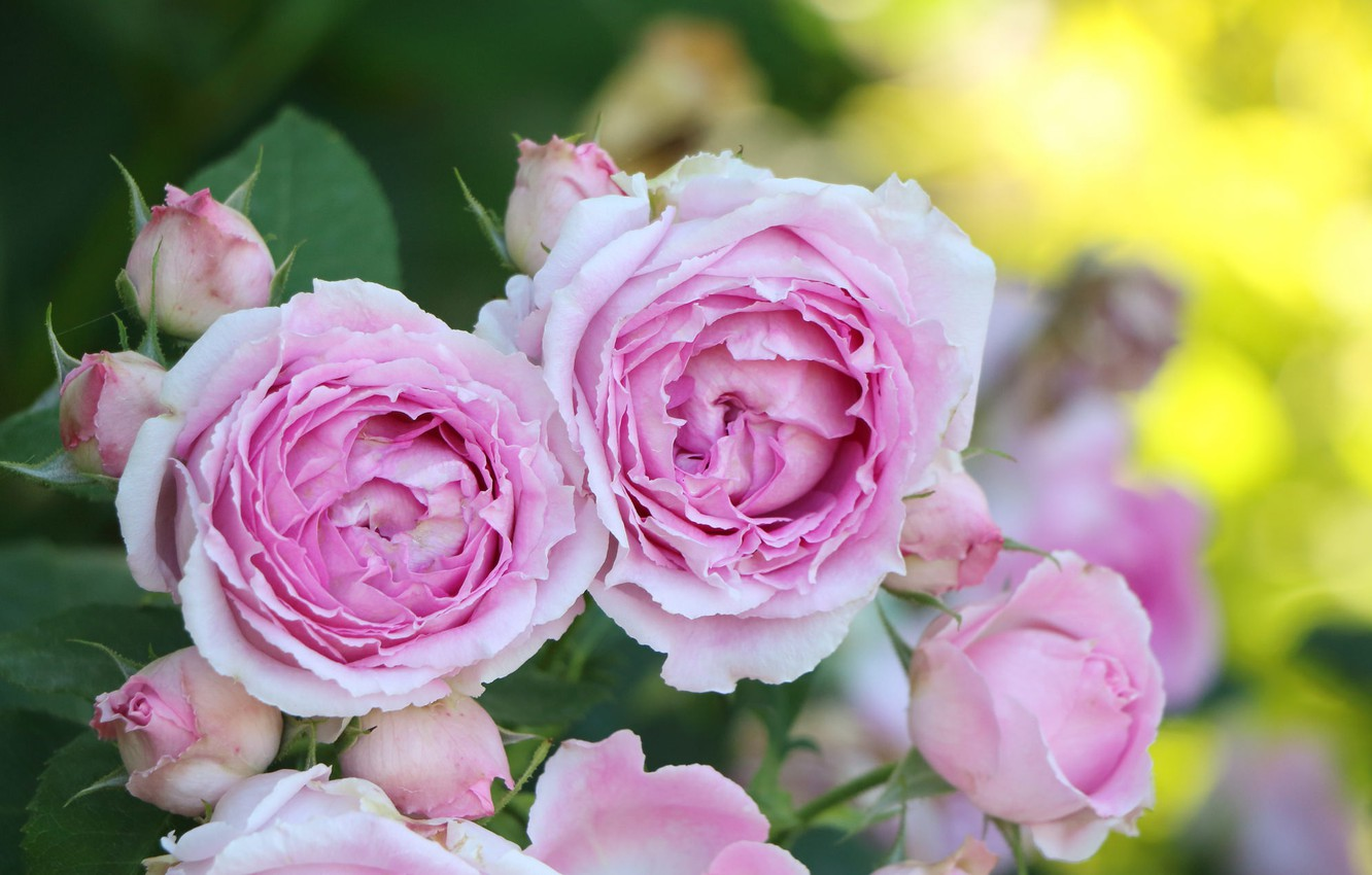 Photo wallpaper flowers, rose, buds