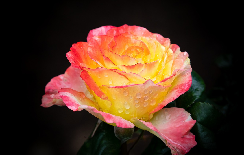 Photo wallpaper flower, drops, rose