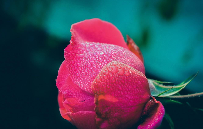 Photo wallpaper flower, drops, Rosa, rose, Bud