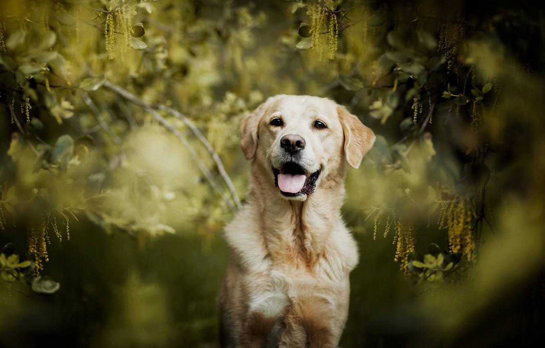 Photo wallpaper look, branches, dog, bokeh, Labrador Retriever