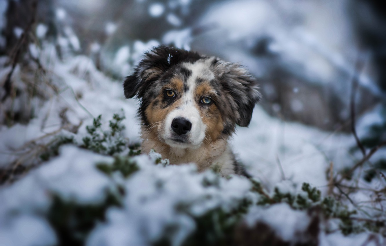 Photo wallpaper winter, look, snow, dog, puppy, face, doggie, Australian shepherd, Aussie