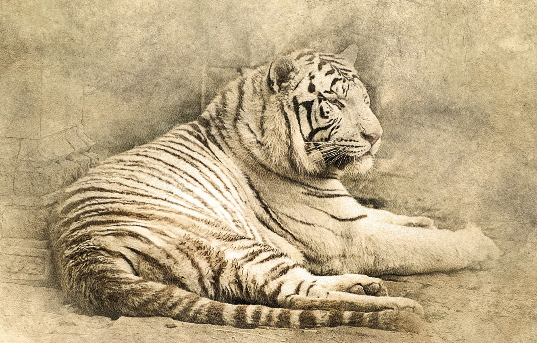 Photo wallpaper cat, tiger, lies, tiger