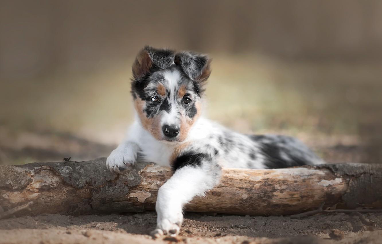 Photo wallpaper nature, dog, puppy
