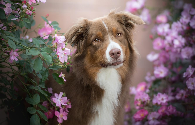 Photo wallpaper look, face, flowers, portrait, dog, briar, the bushes, bokeh, Australian shepherd, Aussie