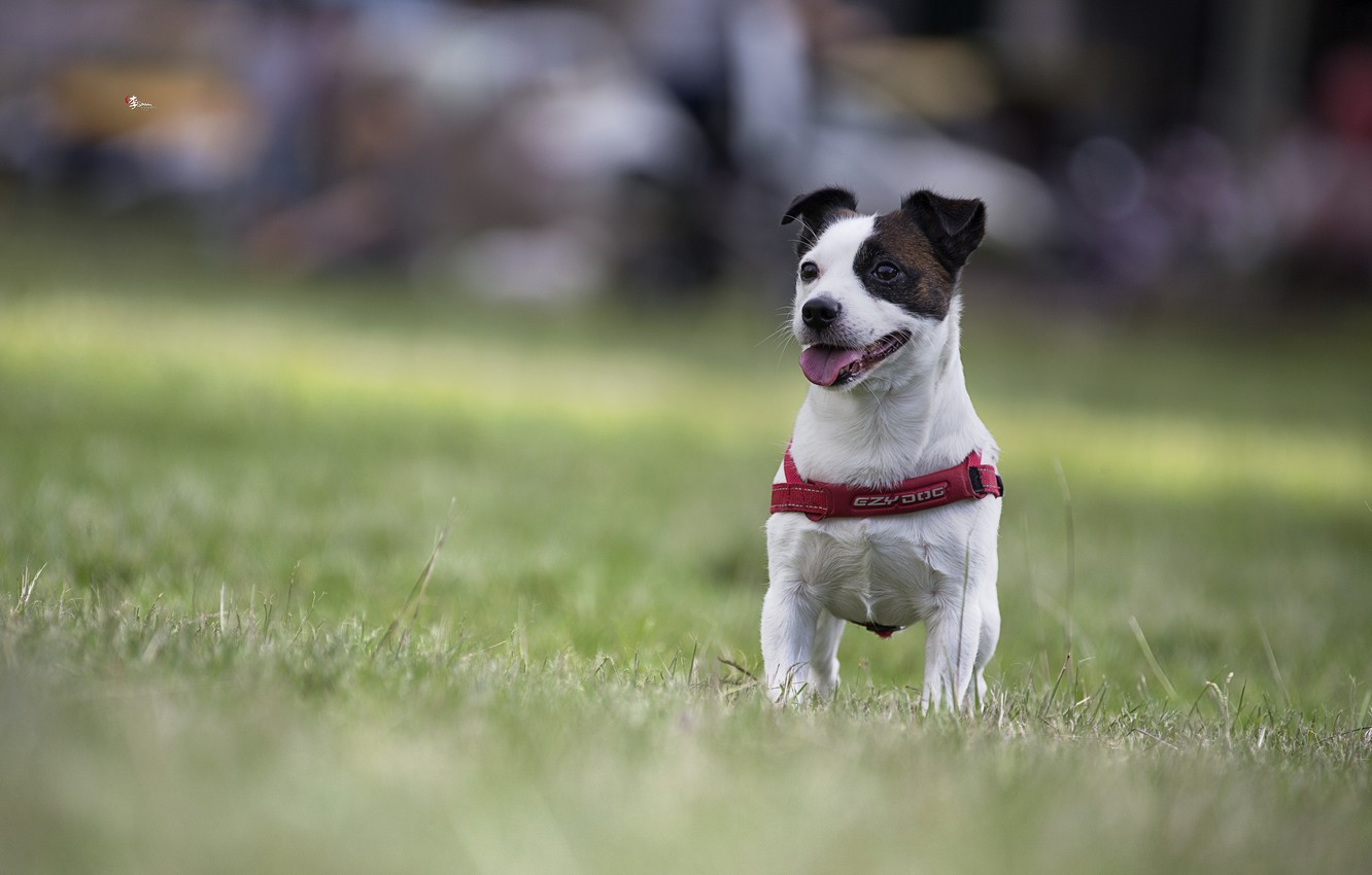 Photo wallpaper dog, bokeh, doggie, Jack Russell Terrier