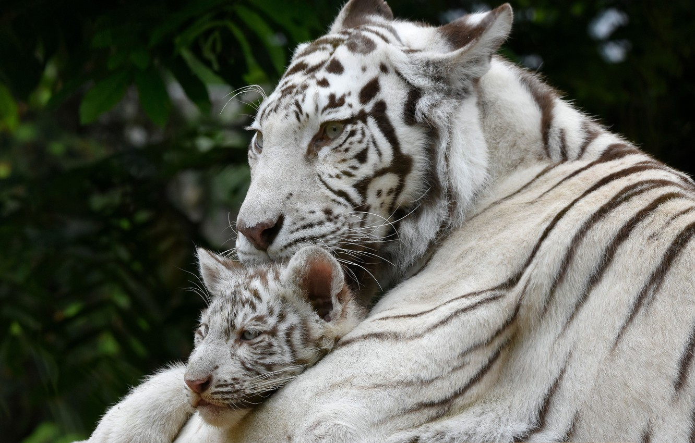 Photo wallpaper white, tiger, baby, mom