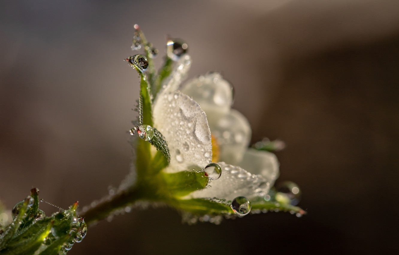 Photo wallpaper flower, drops, macro, nature, Rosa, background