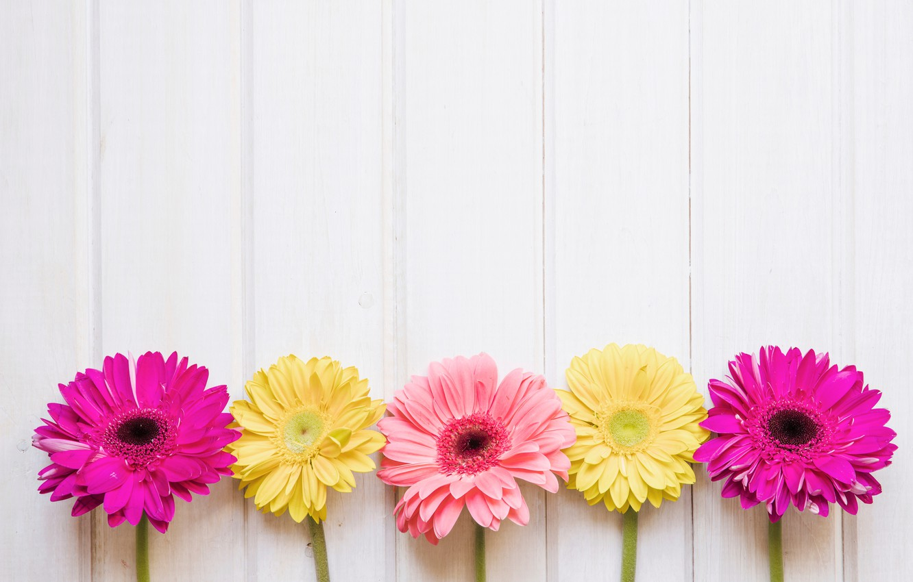 Wallpaper Flowers Yellow Pink Chrysanthemum Yellow Pink