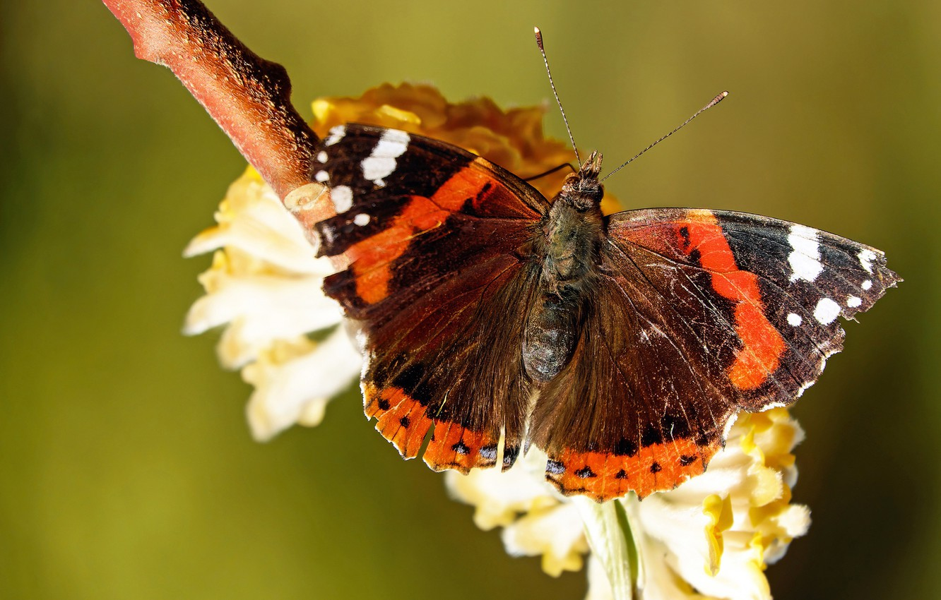 Wallpaper Macro Butterfly Flowers Orange Insects Branches Nature Green Background Butterfly Black Spring Insect Flowering Images For Desktop Section Makro Download