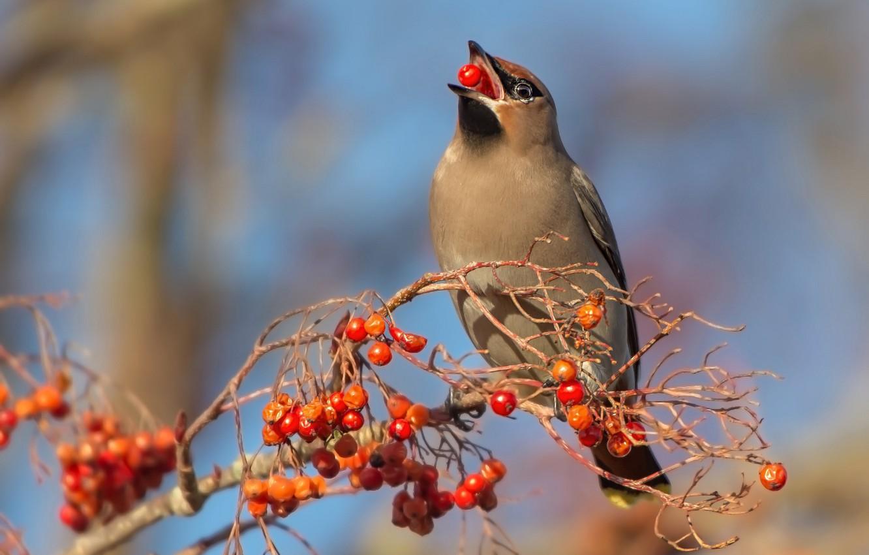 Photo wallpaper nature, berries, bird, Rowan, the Waxwing