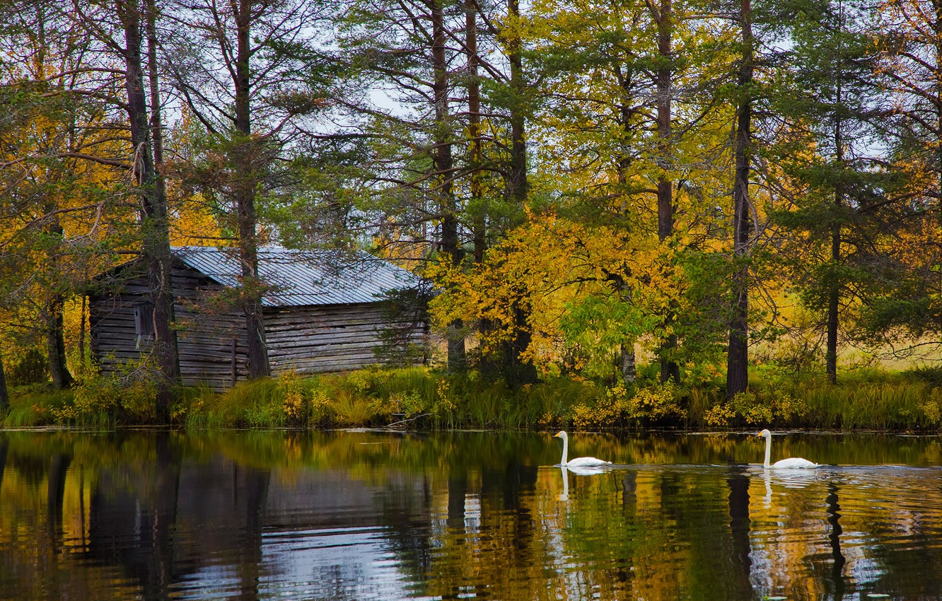 Photo wallpaper autumn, forest, trees, lake, shore, house, swans, Finland, Lapland, Posio