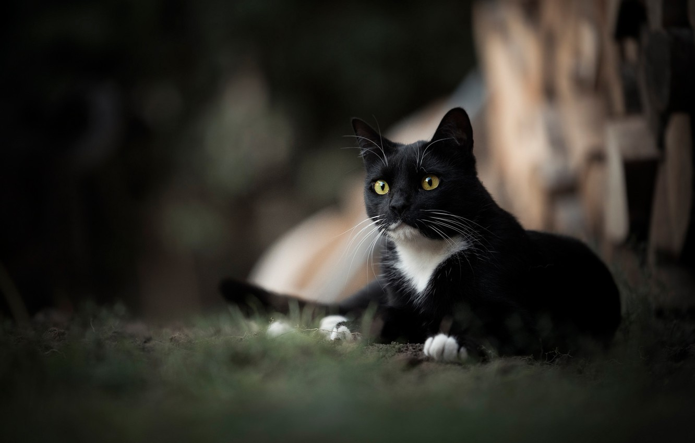 Photo wallpaper cat, look, portrait, bokeh